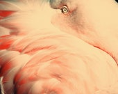CLEARANCE 30% off. All Tucked In. Pink Flamingo. Pink Feathers. Bird Eye. Close up. 5x7 Metallic Photo Print.