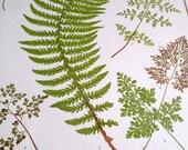 Heath's Fern Portfolio, Maidenhair print, antique print, botany print, published 1885