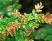 Dried Huckleberry Leaf