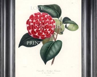 CAMELLIA PRINT Berlese 8x10 Art Print 28 Beautiful Red Camellia Presleys Victoria Spring Summer Flower Garden Nature Botanical Print