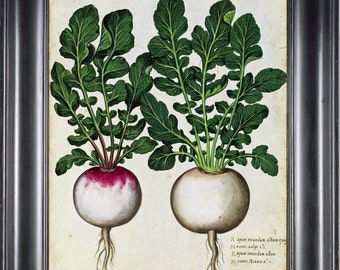 ITALIAN VEGETABLE Garden Aldrovandi  Botanical Art Print 5 Antique Beautiful Radish Plant with Roots Home Decoration