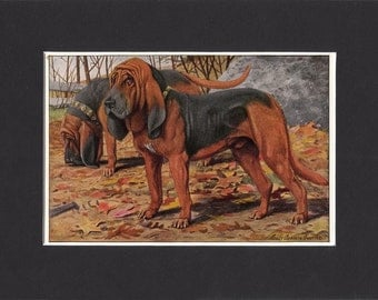 Bloodhound 1919 Dog Print by Louis Agassiz Fuertes Small Vintage Print Mounted with Mat  Bloodhound Print