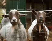 "Goats, Michigan: Greeting Card, 4""x6"""