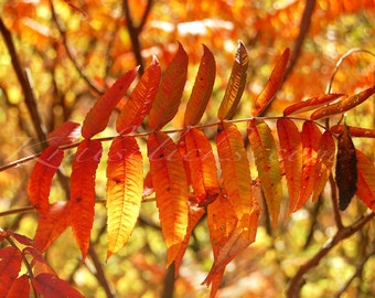 Fall Sumac Photograph Fine Art Photography Autumn Photograph Blazing Orange Yellow Red Color Home Office Wall Decor autumn leaves Fall hues