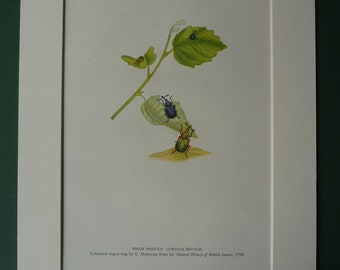 1946 Print Of Birch Weevils - Insects - British - Beetles - Nature - Leaf - Green - Animals - Natural History - Science