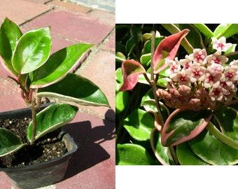 Hoya Carnosa Wax Rooted Plant, P6930