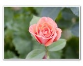 Rose, 5x7' Macro Photography,  Fine Art, Nursery Room, Nursery Art, Home decor
