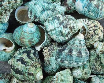 Jade Green Turbo Seashells (10 pcs.) - Turbo Brunneus