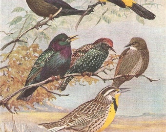 Vintage Bird Print, Book Plate, Starlings, Red Eyed Cowbird, Western Meadowlark, Allan Brooks, Antique Bird Illustration, 1930s