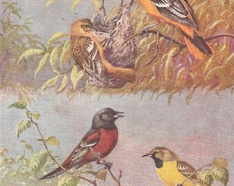 Vintage Bird Print, Book Plate, Orioles, Baltimore Oriole, Orchard Oriole, Allan Brooks, Antique Bird Illustration, 1930s