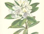 Vintage Flower Print, Cunningham's White Rhododendron, Botanical Plant (97) Natural History, Blossom Art, 1970, Kaplicka