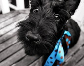 THE NOSE KNOWS - Scottie Dog Greeting Card - fine art photograph