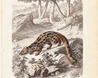 1860 Antique GENET print, GENETTE de FRANCE  By Gervais, 150 years old fine print