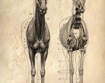 Vintage Science Animal Anatomy Study Poster. Horse Skeleton Biology Educational Diagram Chart - CP118
