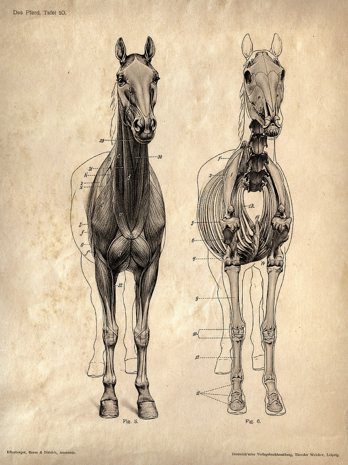 Horse Anatomy Skeleton Prints