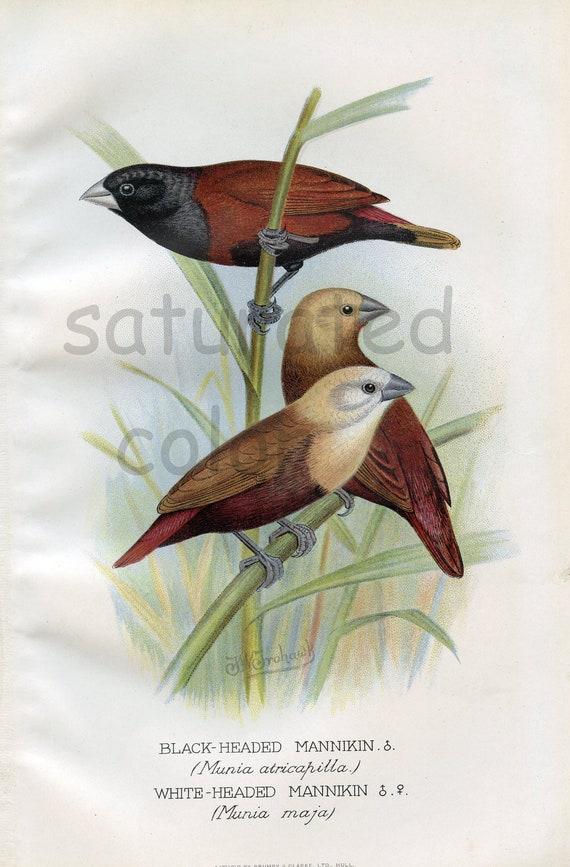 Antique Bird Print - White and Black-Headed Mannikin - 1899 Vintage Bird Print - Natural History - F W Frohawk - brown white gold black