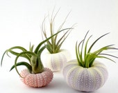 Three Air Plants in Sea Urchin Shells:  Pink and Purple Nautical Tillandsia Set