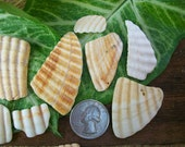 Wampum, shell fragments, natural sea shells, beach home decor, crafts, jewelry supplies (Lot 167)