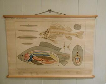 Vintage Belgian School Chart of Fish