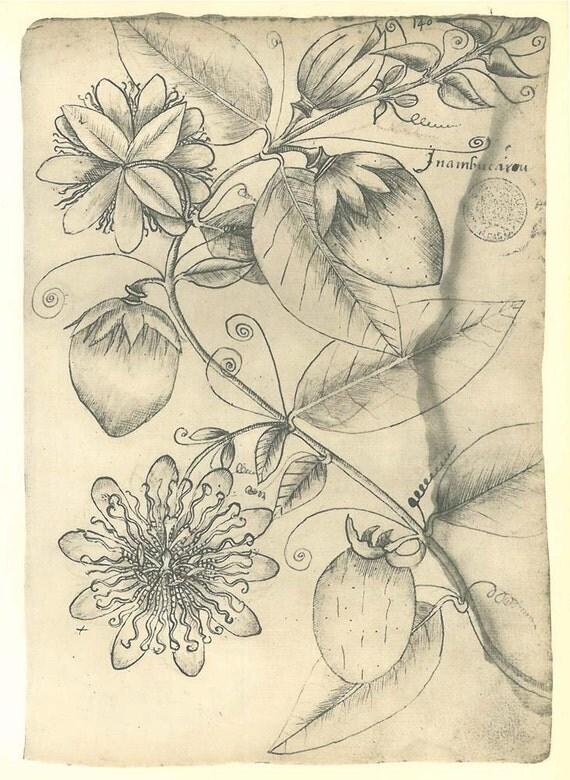 Vintage Botanical Sketch Drawing,  Vine, Art Print by Frei Cristovao, Maranhao, Brazil