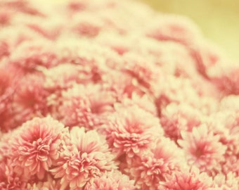 Flower photography, flowers pink soft, mums, Chrysanthemums nature photography