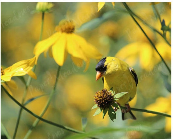 Yellow Bird Photo Download, Spring Wall Decor, Goldfinch, Yellow Flowers, digital image download