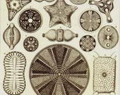 Diatoms Haeckel Microbiology Print Natural History Oceanography Victorian Scientific Lithograph To Frame