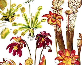 Venus Fly Trap Pitcher Carnivorous Plant Flowers North American Botanical Exotica 1969 Vintage Print Illustration To Frame 158