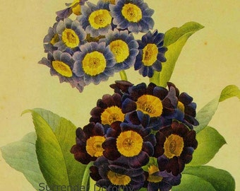 Primrose Oreilla d'Ours Primula pubescens Vintage Botanical Illustration Wildflowers Redoute Print To Frame 73