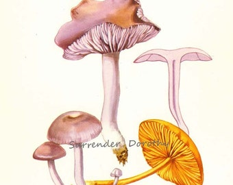 Common Laccaria Mushroom Laccaria Laccata Edible Mycology Chart Food Botanical Lithograph Illustration For Your Vintage Kitchen 44