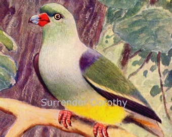 Bruce's Green Pigeon Treron Waalia  African Ornithology Natural History Bird Lithograph Print 1910s Germany IllustrationTo Frame