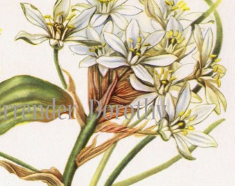Lily Of The Valley Flower Maianthemum Canadense Vintage Botanical Lithograph 1950s Wildflower Art Print To Frame 13