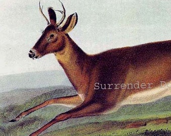 Long Tailed Deer Audubon Vintage Wild Animal Lithograph Print Natural History To Frame