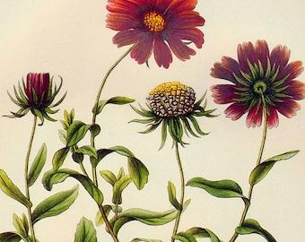 Gaillardia Amblyoden Prestele Vintage Poster Print  Botanical Lithograph To Frame 155