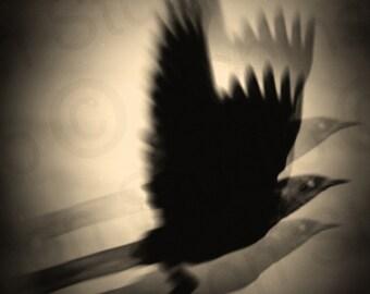 Crow Raven Wings. Bird. Blackbird Flight. Original Digital Photograph Art Print Wall Art. Wall Decor. Giclee Print CASCADE by Mikel Robinson