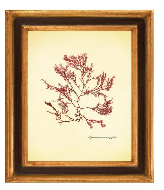Original seaweed pressing, Single Seaweed, Botanical seaweed art  Wall Art, Nautical art, kelp, algae