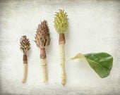 Still life seed pod photography, nature collection, botanical naturalist natural history brown green white art  'Magnolia Pods'