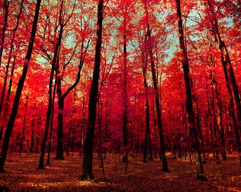Fall photography autumn photography red leaves Canadian maple forest tree nature print large format wall art by bomobob