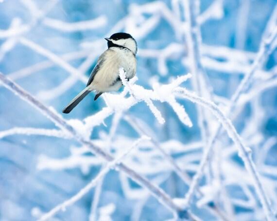 Bird photography, winter birding, chickadee, icy brances, snowfall, fresh snow, wonderland, steel blue