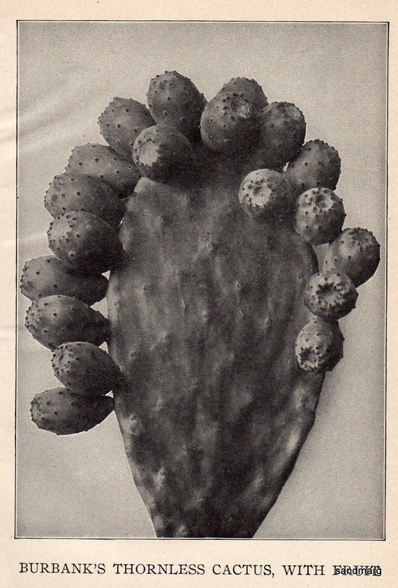 Vintage Image of Luther Burbanks Famous Thornless Cactus 1912