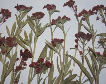 Dried Pressed Flowers for Crafting - Pink alyssum