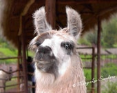 Llama, Peru, Peruvian Fineart Photography for any decor