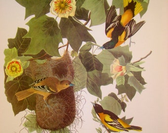 Vintage Baltimore Oriole Print From 18 Best Loved Bird Paintings by Audubon, Ready to Frame, 9 x 12 inches