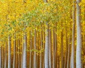 "Autumn Photo, Nature Photography ""Gilded Forest"" Art Print, Golden Forest, Yellow Woods Photo, Fall Color Tree Photograph, Autumn Wall Decor"