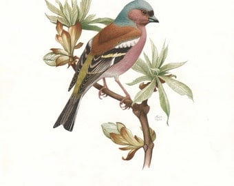 1962 German Vintage Print of the Common Chaffinch