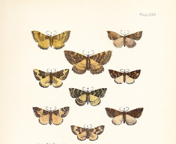 Antique Moth Print Plate XXXIV .  Scarce tissue, scollop shell, red and green carpet . original woodblock vintage plate dated 1896