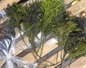 Small bundle of Princess Pine Preserved-6 stems -Lycopodeum-Fairy Garden Trees-Railroad Hobbyist-Choose burgundy or green