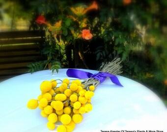 40 dried Craspedia-Short Stems-Billy Balls-Billy Buttons-Yellow Wedding Flowers-Bundle of 40 yellow flowers