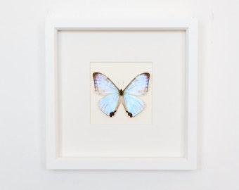 Real Framed Butterfly Pearl Morpho Morpho sulkowski