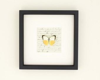 French antique Insect Taxidermy Framed Butterfly Display